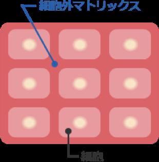 細胞外マトリックスのイメージ