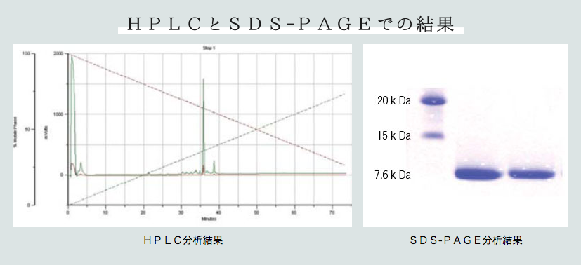 HPLCとSDS-PAGEでの結果