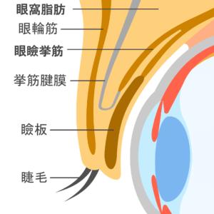 目の構造 眼瞼下垂