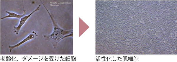 細胞の活性化イメージ