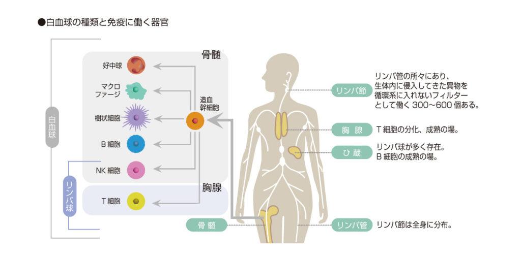 免疫細胞の種類