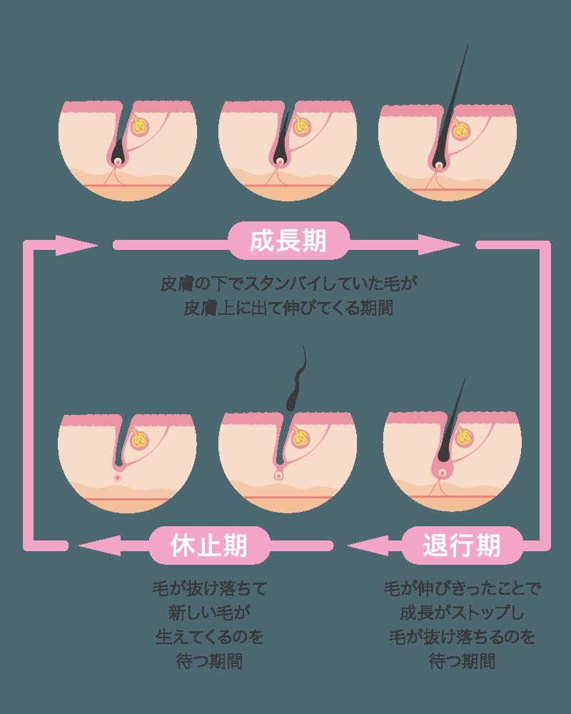 毛周期イラスト説明図