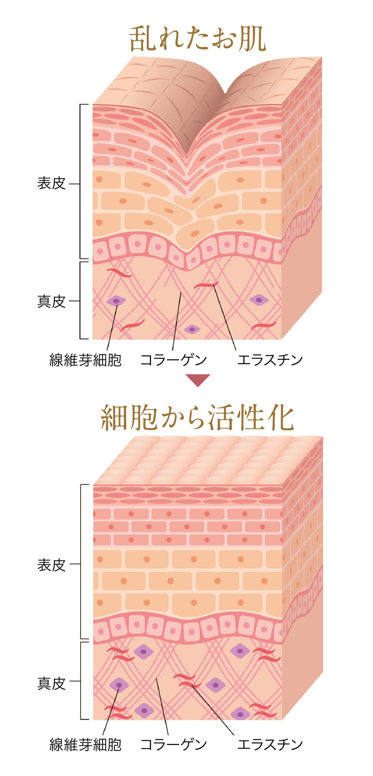 幹細胞肌図 線維芽細胞
